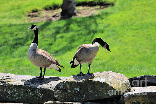 Diann Fisher - Canadian Geese Of The Presidio
