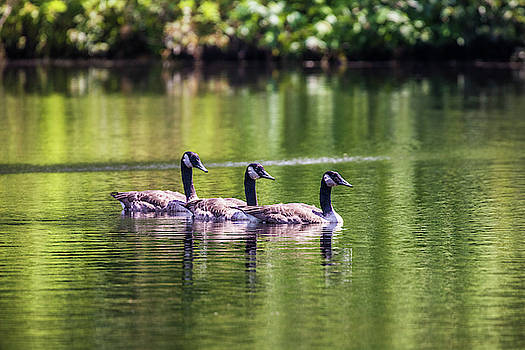 Canadian Geese swimming In  Line by Jordan Hill