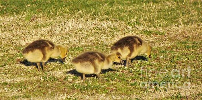 Canadian Goose Gosling Trio Foraging             April              Indiana by Rory Cubel