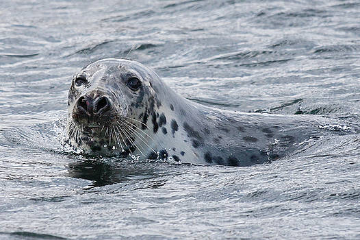 Canadian seal swimming by Tatiana Travelways