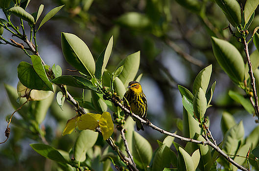 Cape May Warbler by James Petersen