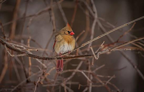 Cardinal Beauty  by Ray Congrove