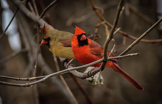 Cardinal Couple by Ray Congrove