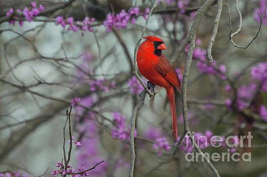 Cardinal by Diane Friend