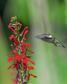 Cardinal Flower or Cardinal Lobelia DFL0899 by Gerry Gantt