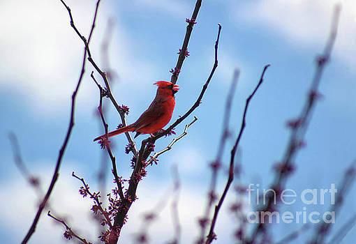 Cardinal in a Redbud in Spring by Karen Adams