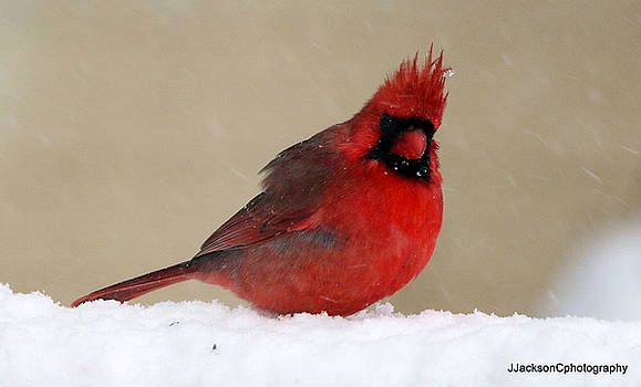 Cardinal in Snow by Jonathan Jackson Coe