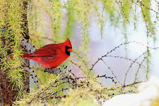 Cardinal In The Larch by Debbie Oppermann