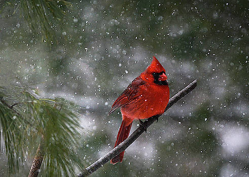 Cardinal in Winter Morn...in Illinois by Mary Lynn Giacomini