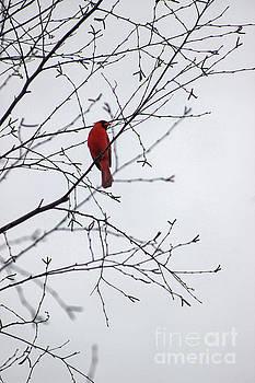 Cardinal Lookout by Karen Adams