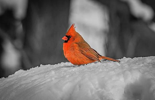 Cardinal On Snow by Ray Congrove