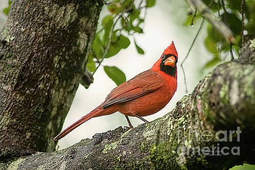 Cardinal Pose by Deborah Benoit