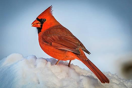Cardinalis Autem Nubila by Ray Congrove