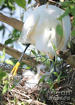 Careful Egret Mom with Chicks by Carol Groenen
