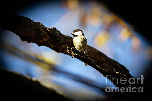 Carolina Chickadee by Sasha Azevedo