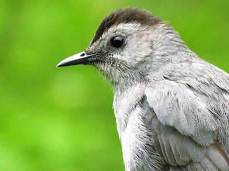Catbird Profile  by Lori Frisch