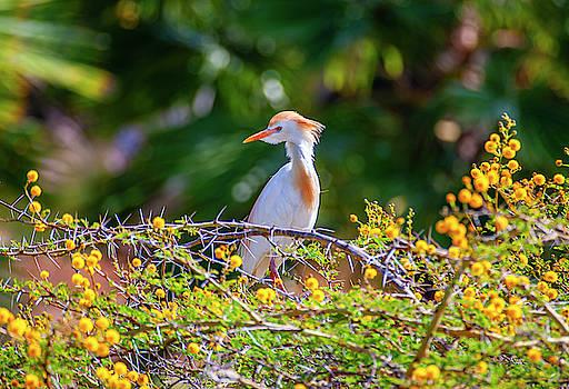 Cattle Egret by Anthony Jones