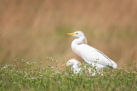 Cattle Egret Feeding by Susan Rissi Tregoning