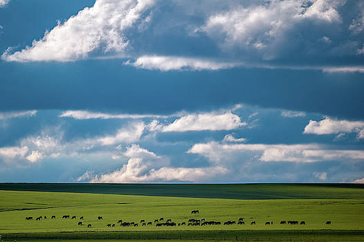 Cattle on the Flint Hills Prairie by Jeff Phillippi