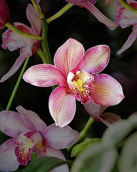 Cattleya Orchid Flower by Saxon Holt