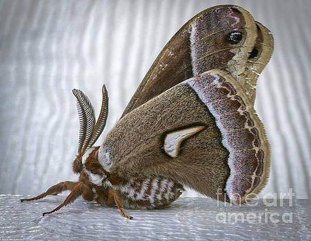 Cecropia Moth by Mitch Shindelbower