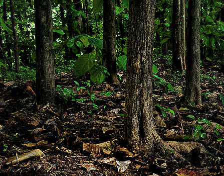 Cedar Trees by Trinidad Dreamscape
