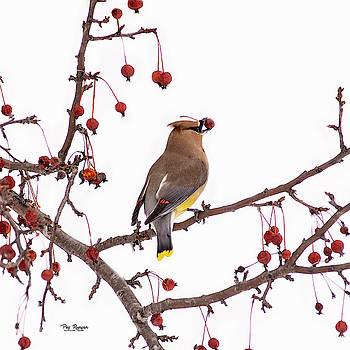 Cedar Wax Wing by Peg Runyan
