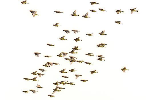 Cedar Waxwings Migrating North  by Debra Martz