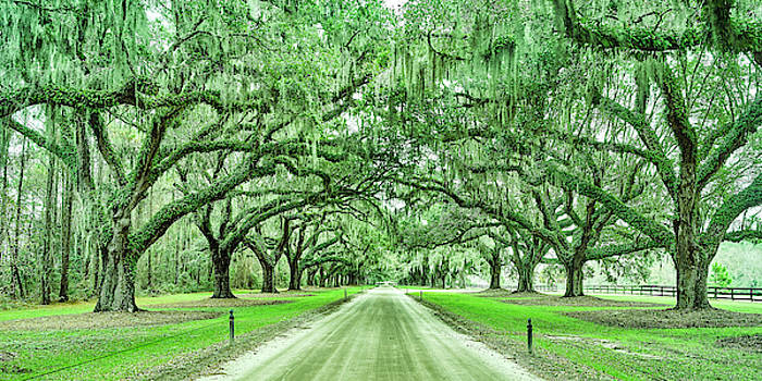 Charleston Live Oaks by Jackson Ball