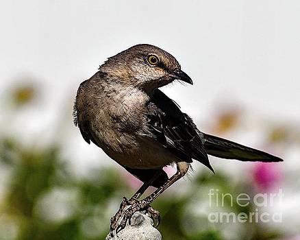 Charming Northern Mockingbird by Cindy Treger