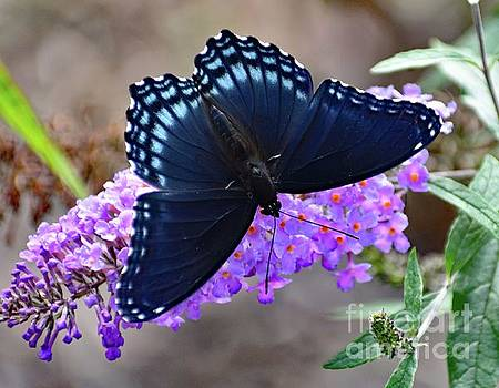Cindy Treger - Charming Red-spotted Purple