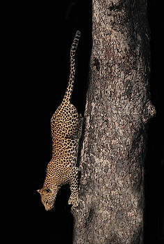 Cheetah Climbing Down A Tree by Art Spectrum