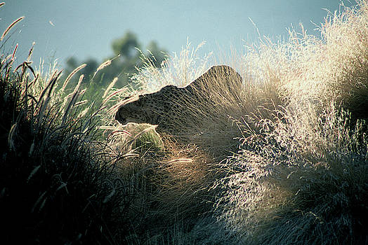Cheetah in Tall Grass by Fred Hood