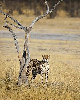 Cheetah by John Rodrigues