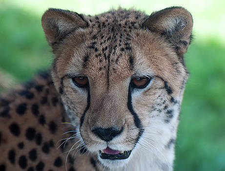Cheetah Portrait by Chris Flees
