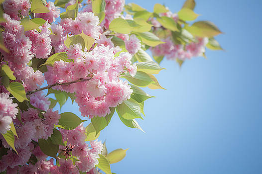 Cherry bloom in spring by Natalia Macheda