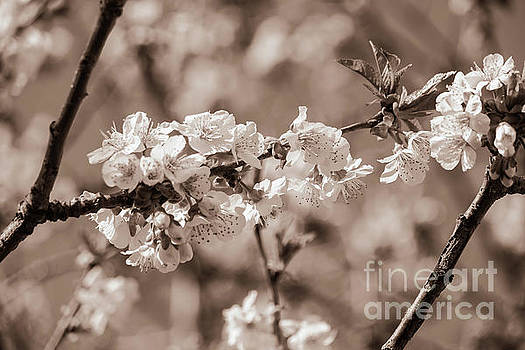 Cherry blooms in monochrome by Claudia M Photography