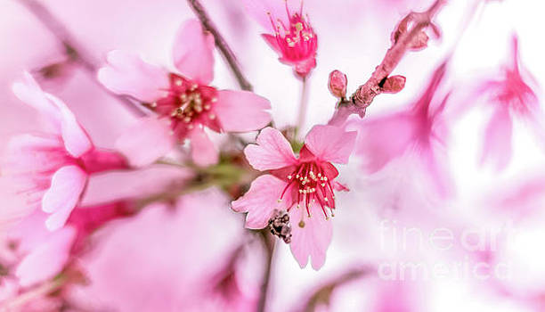 Cherry Blossom 0403A by Howard Roberts