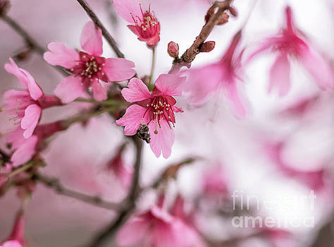 Cherry Blossom 0403B by Howard Roberts