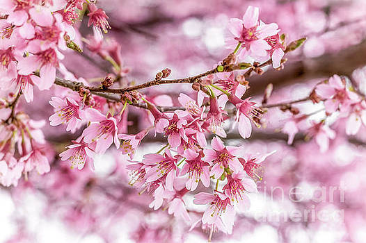 Cherry Blossom 0403C by Howard Roberts