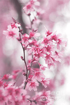 Cherry Blossom 0403D by Howard Roberts