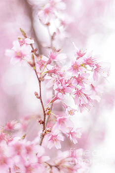 Cherry Blossom 0403E by Howard Roberts