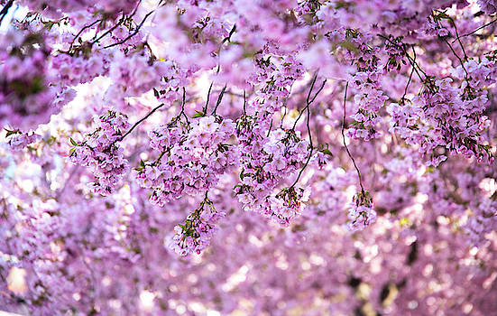 Cherry Blossom Flowers by Nicklas Gustafsson