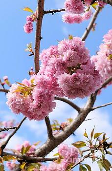 Cherry Blossom Pom Poms by John Chatterley