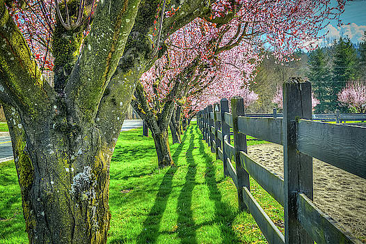 Cherry Blossoms at Cascade Meadows by Spencer McDonald