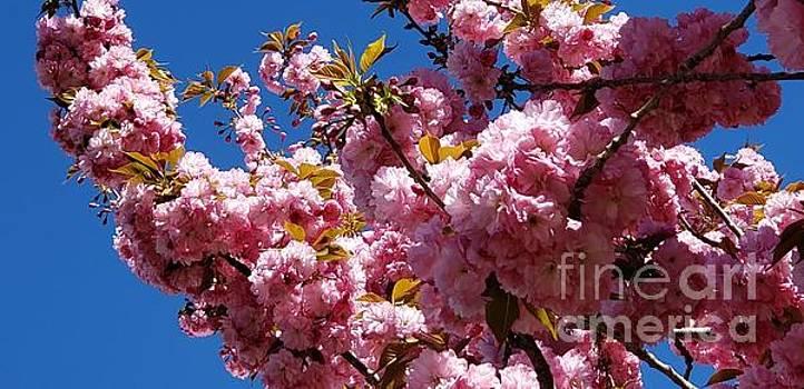 Cherry blossoms by Olga Malamud-Pavlovich