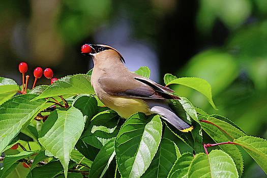 Cherry Picking by Debbie Oppermann