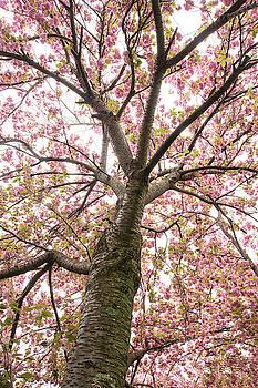 Cherry Tree by Eleanor Bortnick