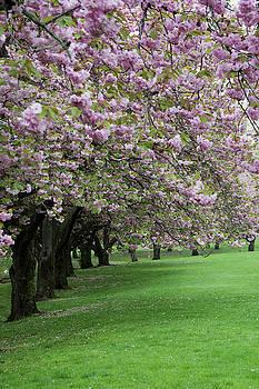 Cherry Trees in Bloom by Eleanor Bortnick