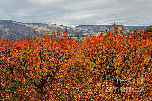 Cherry Orchard Autumn by Mike Dawson
